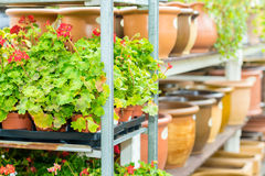 Potted flowers on shelves in garden shop. Greenhouse plants Royalty Free Stock Photo