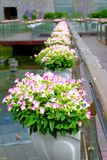 The potted flowers in the street park. The potted flowers in the park on the street in Shenzhen city,It looks lovely, cute, and full of vitality Royalty Free Stock Image
