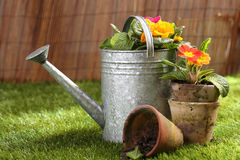 Potted flowers and a watering can. Colourful orange potted flowers and old clay flowerpots standing on a green lawn in summer sunshine with a metal watering can Royalty Free Stock Photos