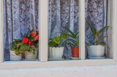 Potted flowers in the window. Potted flowers in pots are on the windowsill inside the window in front of the tulle Royalty Free Stock Photos