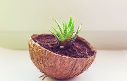 Aloe. Potted flowers on the windowsill in a coconut pot. Adorable home creative design stock photography