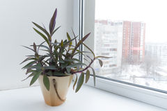 Potted flowers on the windowsill in a pot. Setcreasea Purpurea. Royalty Free Stock Photography