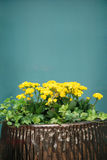 Potted flowers. Yellow potted flowers under the blue background Royalty Free Stock Photography