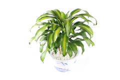 Potted fragrant dracaena Stock Images