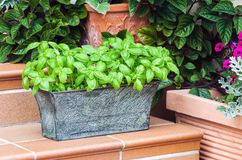 Potted fresh basil outdoors. Potted fresh basil among home garden plants outdoors Royalty Free Stock Image