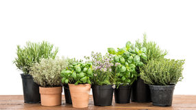 Potted fresh green herbs wooden kitchen table royalty free stock photo