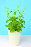 Potted fresh green Mint Royalty Free Stock Photo