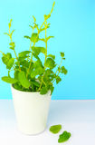 Potted fresh green Mint Royalty Free Stock Photos