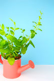 Potted fresh green Mint Stock Photos
