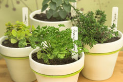 Potted fresh herbs Stock Photos
