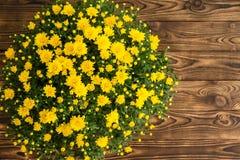 Potted fresh yellow fall chrysanthemum Royalty Free Stock Photo