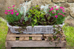 Potted garden plants in a basket. Potted garden plants like carnation and painted nettle in a basket in front of a stone wall Stock Photo