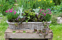 Potted garden plants in a basket. Royalty Free Stock Image
