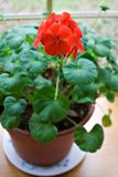 Potted Geranium. A redpotted geranium on a window sill in spring. Shallow depth of field with focus on the bloom royalty free stock photography
