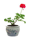 Potted Geranium. Fresh foliage and blossom from pruned geranium plant stock image