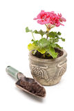 Potted geranium. A potted pink geranium with a shovel of compost isolated on white Stock Photo