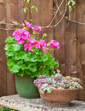 Potted geranium flower and succulents on a stone bench Royalty Free Stock Images