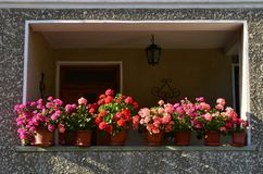 Potted Geranium flowers on balcony