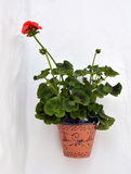 A potted geranium Stock Photo