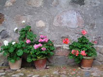 Potted Geraniums Against a Rustic Stone Wall. Stock Image