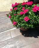 Potted Geraniums on Boardwalk Royalty Free Stock Image