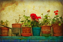 Potted Geraniums Stock Image