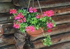 Potted Geraniums hanging Royalty Free Stock Photos