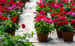Potted geraniums in a nursery Royalty Free Stock Image