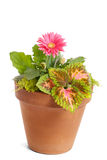 Potted gerbera daisy Stock Images