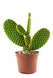 Potted globe cactus  over white background Stock Photos