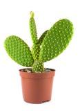 Potted globe cactus over white background stock image