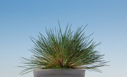 Potted grass tussock Stock Images
