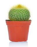 Potted green cactus Stock Photo