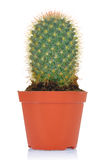 Potted green cactus Royalty Free Stock Photo