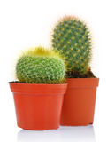 Potted green cactus Royalty Free Stock Image