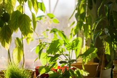 Potted green plants on window sill indoors Royalty Free Stock Photography