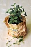 Potted herb silver sage stock images