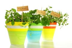 Potted herb on white background. Herbs plant in colored pots isloladet on white background Stock Photo