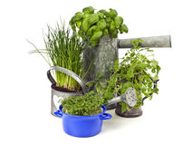 Potted herbs isolated. Kitchen herbs potted in watering cans, jug and casserole Stock Photo