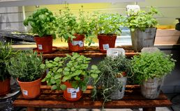 Potted Herbs Plant Stock Photos