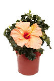 Potted Hibiscus Stock Photos
