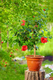 Potted hibiscus plant, in garden Royalty Free Stock Image