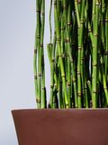 Potted Horsetail. Horsetail plant closeup in large rust brown ceramic pot Royalty Free Stock Photo