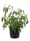 Potted hot pepper jalapeno plant growing Royalty Free Stock Images