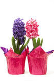 Potted hyacinth flowers Royalty Free Stock Photos