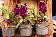 Potted hyacinths Royalty Free Stock Photos