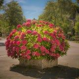 Potted hydrangea Stock Photo