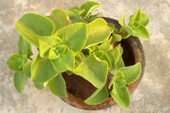Potted Indian borage plant Royalty Free Stock Photo