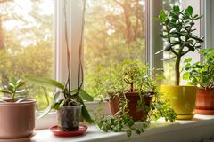 Free Potted Indoor Plants On Sunny Windowsill Stock Images - 146885954