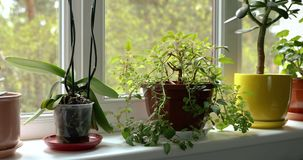 Potted indoor plants on sunny home windowsill. 4k dolly shot stock video footage